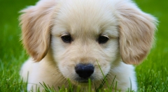 miniature-golden-retriever-puppies-for-sale01