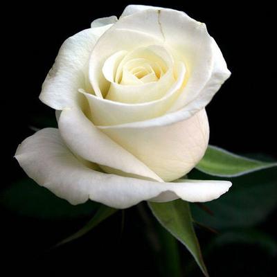 Add white rose